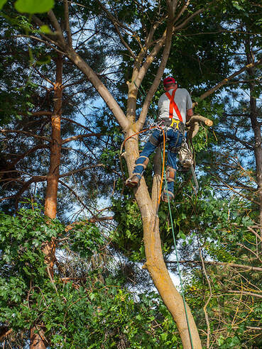 Fairfield tree service tree removal stump grinding pruning trimming